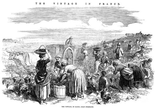 Vintage in the Medoc, Wood engraving, English, 1854.