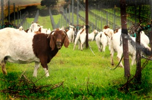 The Laetitia goats